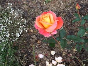Розы-2013 0_8e18d_75af0f4c_M