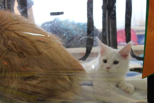 """Международная выставка кошек AFC """"Удивительные лесные кошки"""", 1 марта 2014 г. Сургут - Страница 2 0_e4901_aeb0daa2_L"""