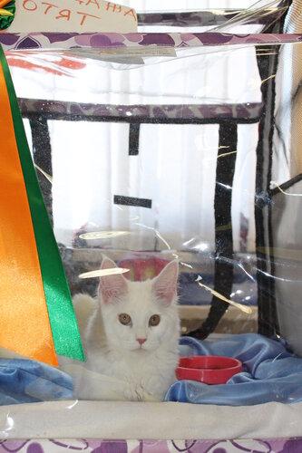 """Международная выставка кошек AFC """"Удивительные лесные кошки"""", 1 марта 2014 г. Сургут - Страница 2 0_e49b6_3a25518d_L"""