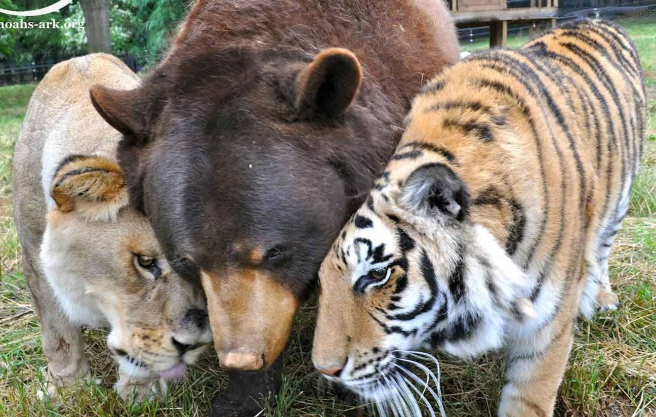 Images diverses - Page 6 2048x1536-fit_leo-lion-shere-khan-tigre-baloo-ours-inseparables-depuis-15-ans