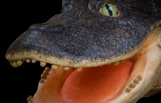 Pérou: Des chercheurs de Montpellier découvrent un crocodile... avec un bec de canard ! 648x415_caiman-bec-canard-decouvert-equipe-chercheurs-montpellier