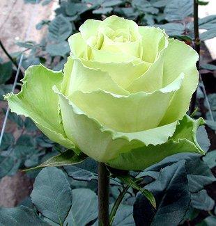 Trendafila - Faqe 4 Roses_And_Fresh_Cut_Flowers_From_Ecuador