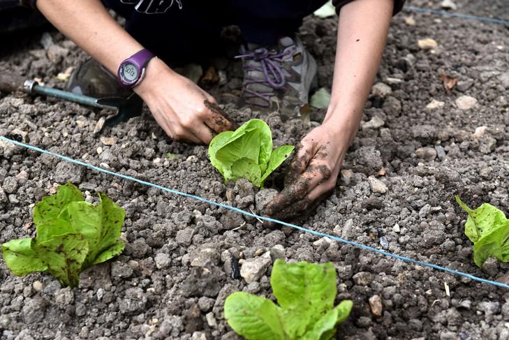 « Laudato Si' a poussé les chrétiens à s'emparer de l'écologie » 28-Juillet-2015-novice-carmelite-repique-plants-salade-potager-Mazille_0_730_487