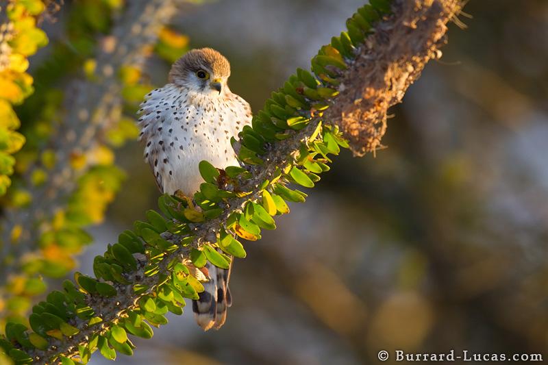 Falconiformes. sub Falconidae - sub fam Falconinae - gênero Falco - Página 2 Madagascar_kestrel