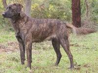 Jeu number 1 58-cursinu-chien-corse
