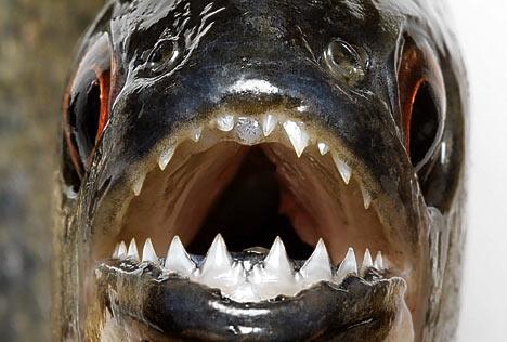 la dentition des piranhas PIRANHA_468x316