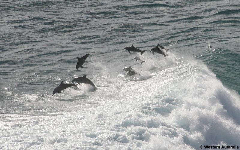 معلومات عن الدلافين Dolphins1WA_800x499