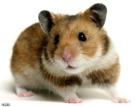 Hrčci - hrčak HamsterREX_468x362