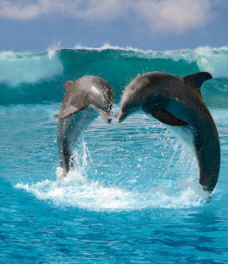 موسوعة الدولفين ـ ذلك الحيوان الرائع _ متجددة DolphinsDM2804_468x541