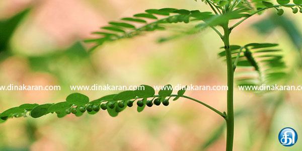காமாலை நோயை குணப்படுத்தும் கீழாநெல்லி Ht3309