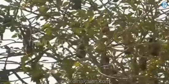 பழந்தின்னி வௌவால்களை தெய்வமாக வழிப்படும் கிராம மக்கள் Dkn_Daily_News_2018_6426159143448