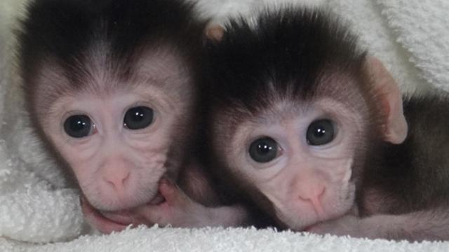 Monkeys genetically modified for healthier immune systems, metabolism Ku-xlarge