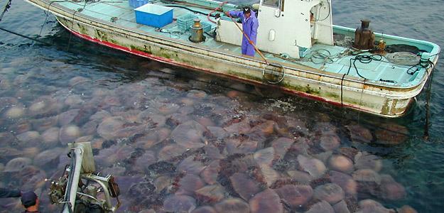 Aumento mundial de las medusas.  Consecuencia de las fluctuaciones periódicas globales 1347273427088