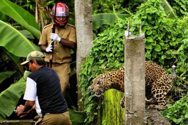 les éléments - Page 22 Wild_leopard_hunts_in_a_village_640_01