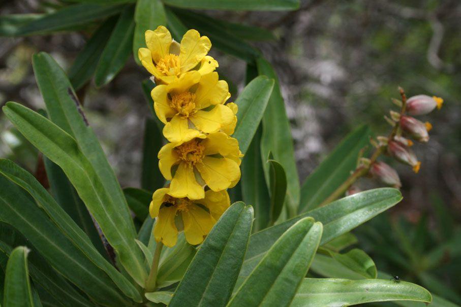 la fleur de Martin du 13 juin trouvée par Martine - Page 3 Ob_045573_23-hibbertia-lucens