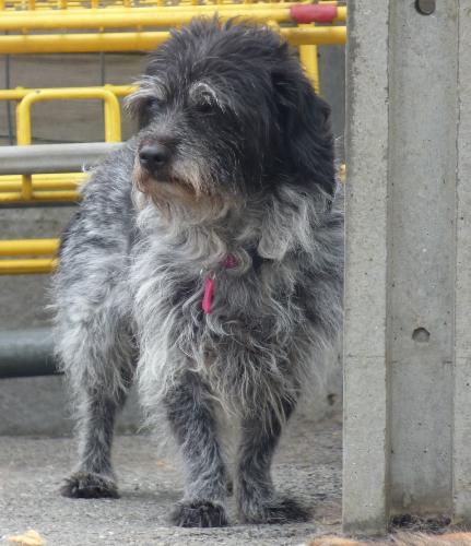 Cleac'h   mamie x griffon 13 ans - refuge animalier de Landerneau (29) Ob_bdba48_cleach2