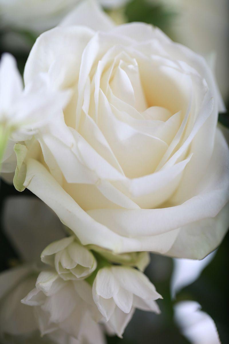 Mardi 23 mai 2017 Ob_c69f99_rose-blanche
