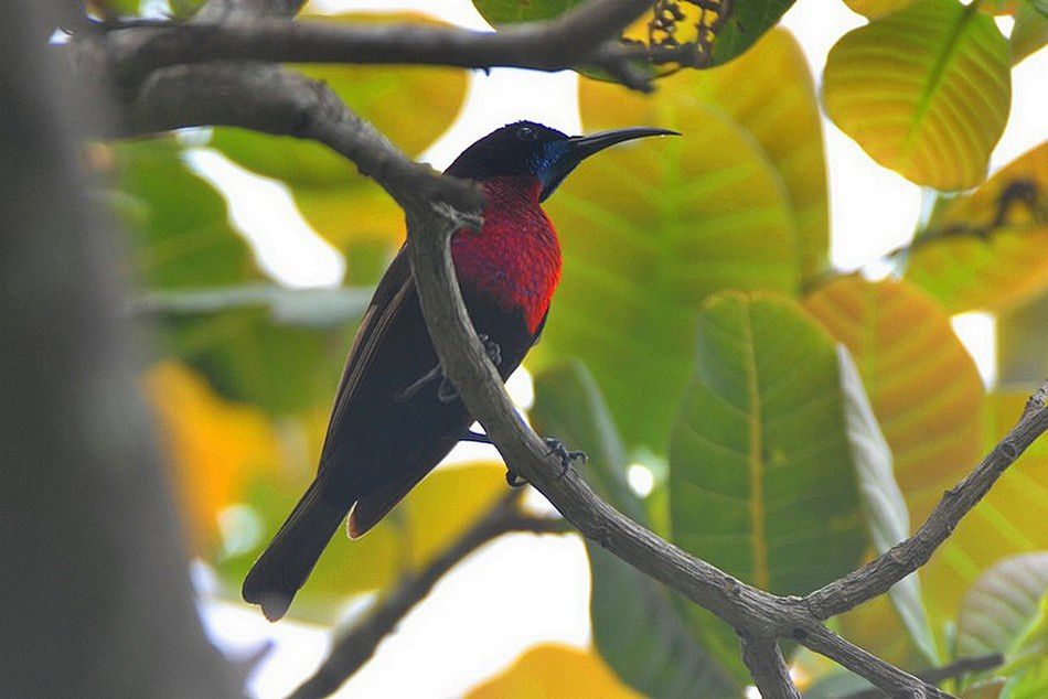 Oiseau Martine 13 janvier - bravo Martin Ob_205dc2_souimanga-a-poitrine-rouge-01nov14-bo
