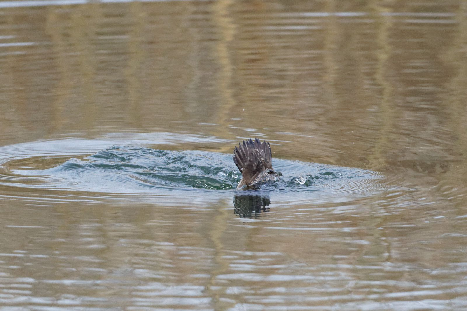 un oiseau à découvrir -ajonc- 5 août trouvé par Martin et Martine  Ob_69ca20_ima7ge-6335-dxo