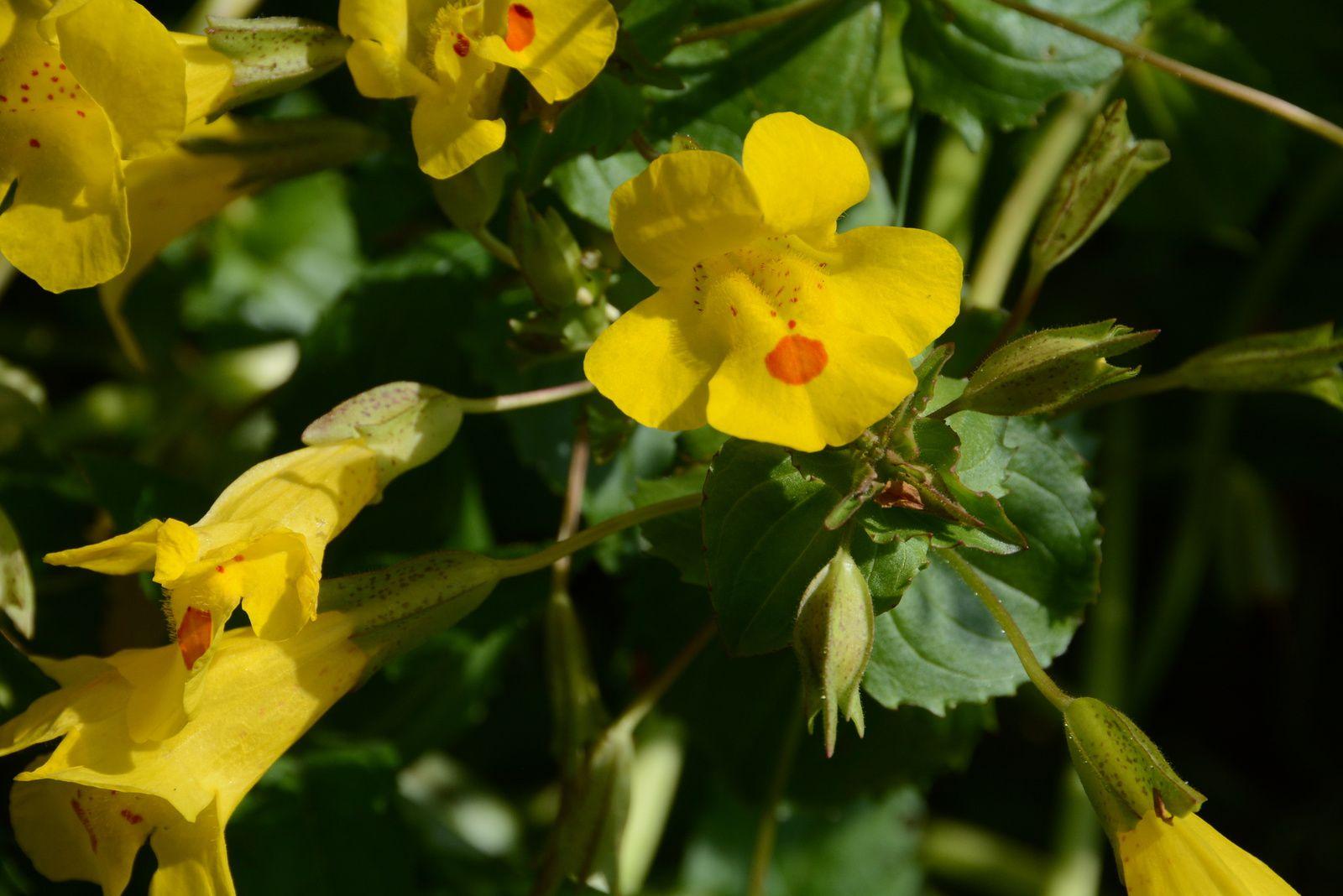 la fleur de Martin du 13 juin trouvée par Martine Ob_5e3fcf_10-mimulus-guttatus-0005-la-fromagerie