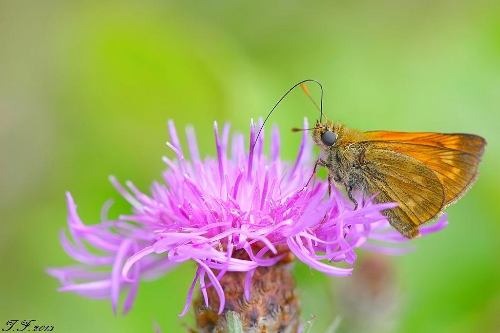 que suis je d'Ajonc du 2 août trouvé par Martine Ob_95d0fb_photo-macro-d-une-trompe-de-papillon-sylvaine-en-