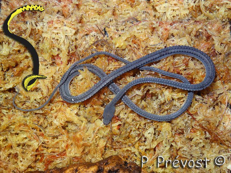 [Fiche] Xenodermus javanicus Ob_5ad347_xenodermus-ja-vanicus-sphaigne