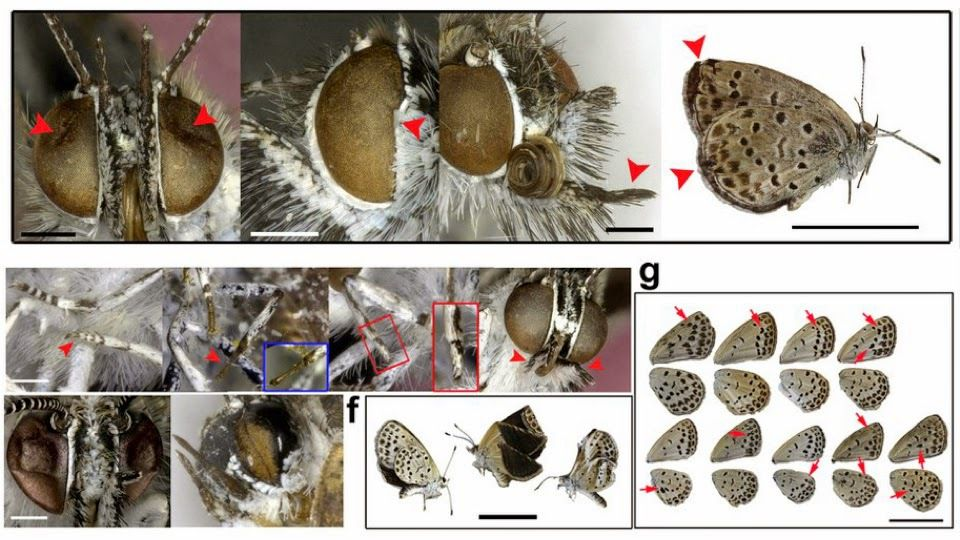 Japon: Les radiations de Fukushima empoisonnent les insectes Ob_95d475_fukushima-papillons