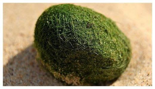 De bien mysterieux oeufs verts s'échouent sur une plage de sydney Ob_49239b_oeuf