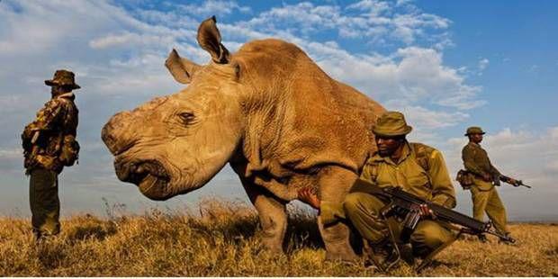 Sudan, le dernier rhinocéros blanc au monde, a ses propres gardes du corps Ob_470349_5530c04435704bb01bcce152