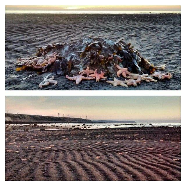 Angleterre : des milliers d'étoiles de mer s'échouent sur une plage Ob_f9c69d_etoiles-de-mer