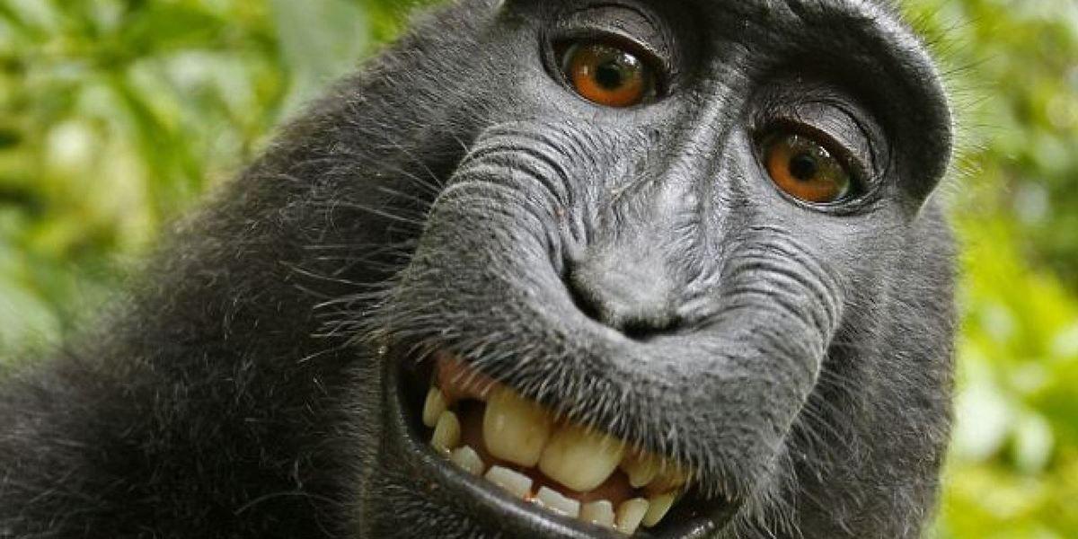 Les singes parlent avec des accents Ob_4ba4fc_o-portrait-singe-facebook