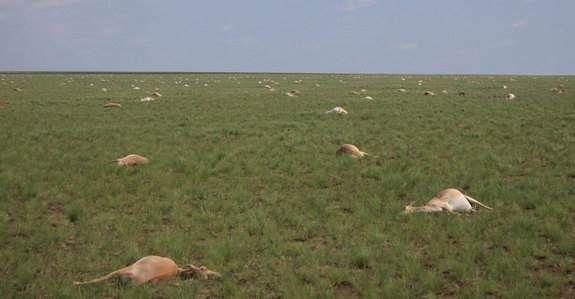 Catastrophe - Kazakhstan: 60 000 antilopes décédées en 4 jours Ob_70279f_cn-kzvvw8aavzys