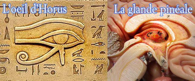 oeil - La glande pinéale ce 3ème Oeil d'Horus, que l'on nous empêche d'utiliser…  Ob_46cb31_pomme-de-pin-pineale-5b