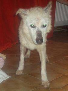 HUBERTx husky(m) 8 ans recherche fa ou définitive  REF:29 décédé Hubert1-001