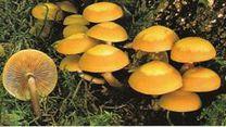 les champignons vont sortir - Page 2 Pholiote-changeante