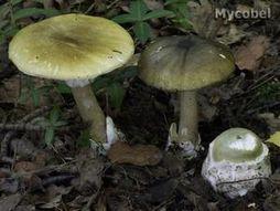 les champignons vont sortir - Page 2 Amanita-phalloides