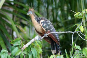 oiseau de ptit loulou le 14décembre trouvé par Martine  - Page 2 Hoazin_huppe_frle_2g