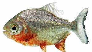 Un piranha de 14 centimètres découvert près de Malines Media_xll_5795928
