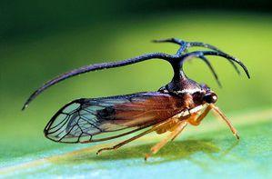 Le monde merveilleux des insectes - Page 4 Membracide-10--Ulmbelligerus-peruviensis-a-pronotum-a-ram