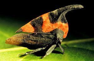 Le monde merveilleux des insectes - Page 4 Membracide-13--Enchophyllum-cruentarum