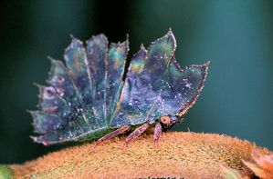 Le monde merveilleux des insectes - Page 4 Membracide-15