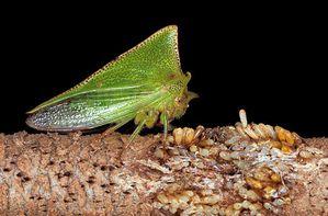 Le monde merveilleux des insectes - Page 4 Membracide-17-