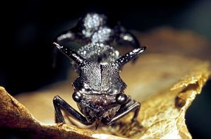 Le monde merveilleux des insectes - Page 4 Membracide-8---Heteronotus-nigrogiganteus-femelle