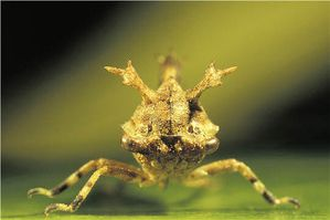 Le monde merveilleux des insectes - Page 4 Membracide-3-Smerdalea-mmimens