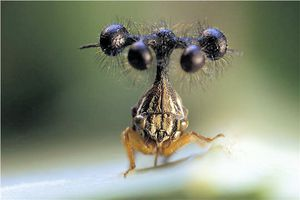 Le monde merveilleux des insectes - Page 4 Membracide--4-Bocydium-globulaire