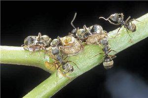 Le monde merveilleux des insectes - Page 4 Membracide-6--Ponte-protegee-par-les-fourmis