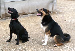TAZ, husky x Berger, né le 16 mai 2008  besoin de stabilité: REFU91 Samba_taz