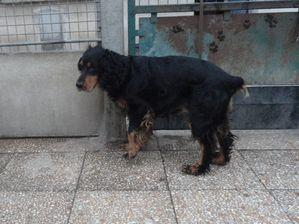 MANNY BOY - cocker spaniel noir/feu 7 ans  (5 ns de refuge -  deprime- ARPA à Ris Orangis (91) Manny-boy