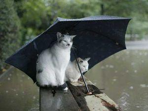 Chats pitres Chats--parapluies
