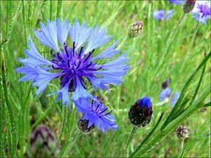 Trouvez la PHRASE... Galerie-membre-fleur-bleuet-bleuets